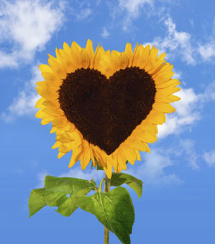 Think of Your Heart as a Sunflower | Recent Spiritual Practices of ...